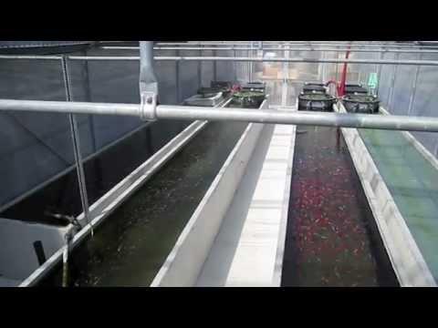 Allevamento pesci rossi youtube for Allevamento pesci