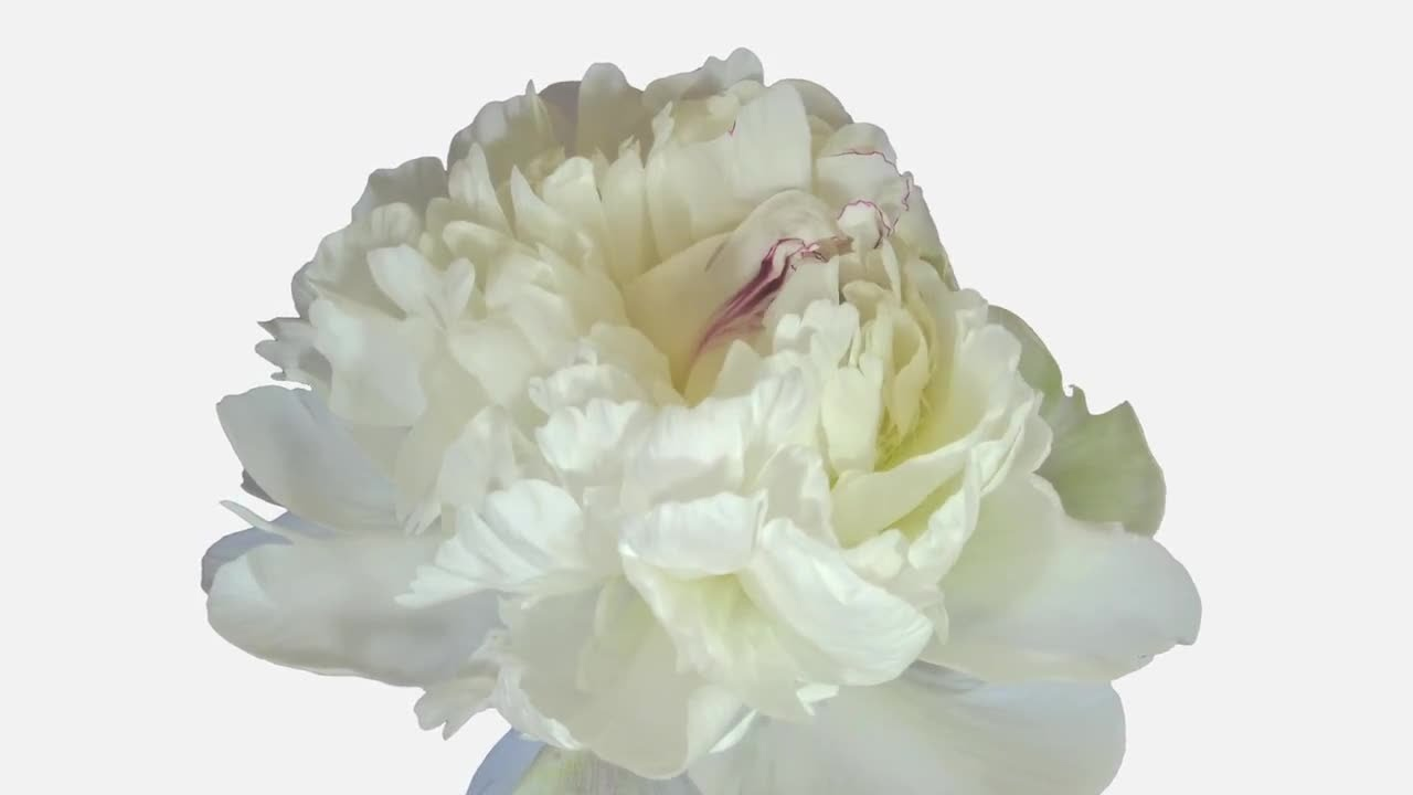 Opening White Peony Flower Stock Video