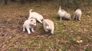 Продаю щенков породы «сибирская хаска»