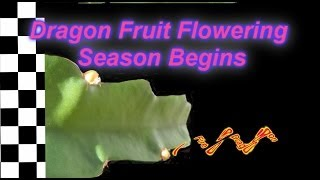 harvesting dragon fruit
