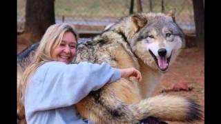 Волкособы – это результат скрещивания волка и немецкой овчарки