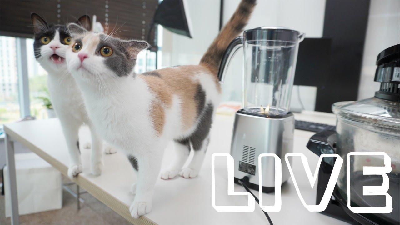 고양이를 미치게 만드는 간식 만들기 라이브 방송 [풀버전]