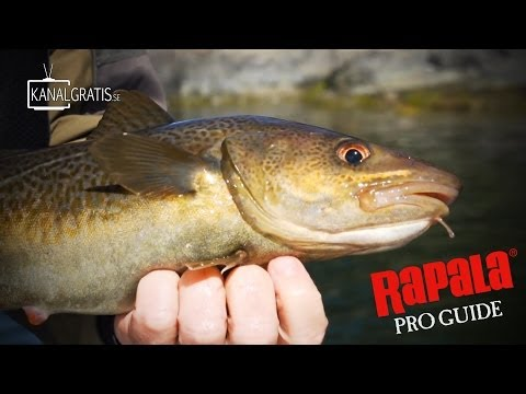 Rapala Pro Guide | Cod Fishing in the Stockholm Archipelago