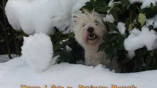 "West Highland White Terrier ""die Rasselbande Vom Deipen Brook"""
