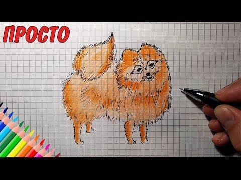 Как нарисовать шпица