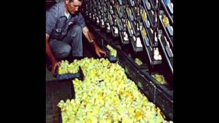 Poultry Farming aur Hatchery lagana Tips  Dr Ashraf Sahibzada