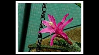 My Aporocactus flagelliformis Cactus Plant in bright pink flower