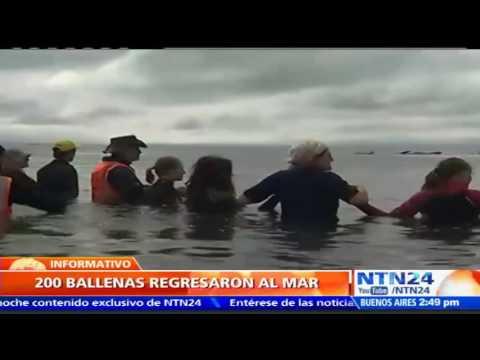 Cadena Humana Libera 200 Ballenas Encalladas En Playa De Nueva Zelanda