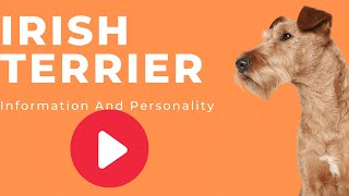 All Dogs Breeds  Irish Terrier dog Breed Information And Personality