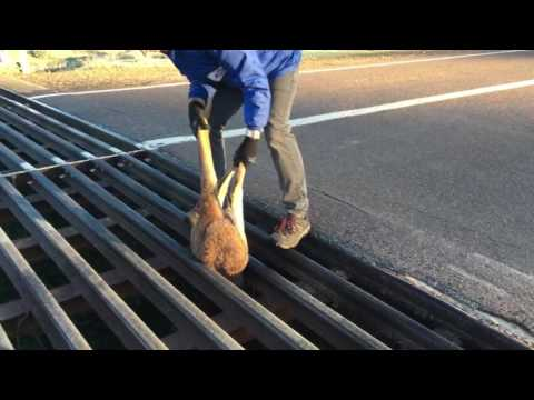 Kangaroo Stuck in Cattle Grate | Roo Rescue