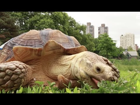 LIVE: Henry The Tortoise Eating Snacks in Central Park NYC | The Dodo LIVE