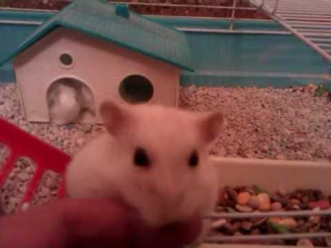 Un hamster intentando llenar su casita de algodon