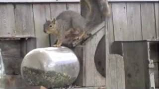 Silly Squirrel Eating From A Jar In The Garden