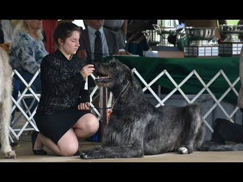 2018 Irish Wolfhound Club of America - Best of Breed Competition