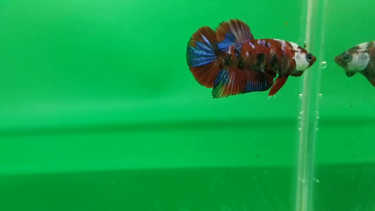 Cupang koi galaxy multy colour - YouTube