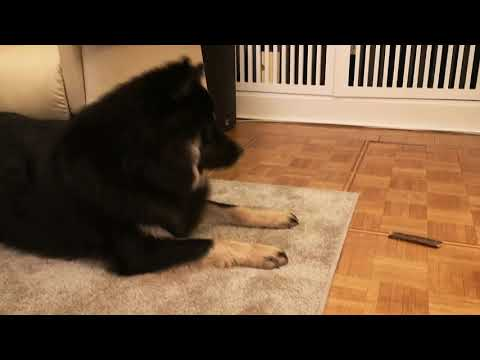 11 month old Eurasier puppy excited about his treat (09-Apr-2019)