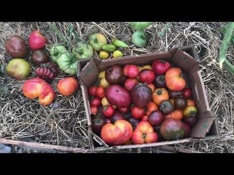 Семена томатов , которые я заказывала у коллекционера томатов