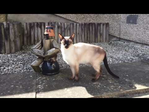 Cooper - Seal Point Siamese Cat