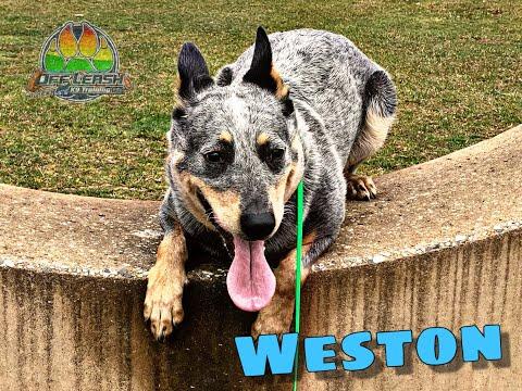 Australian Cattle Dog 'Weston'~Board and Train~ Off Leash K9 Training Maryland