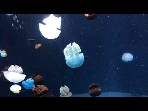 The Jelly Blubber | Blue Blubber Jellyfish:Catostylus Mosaicus