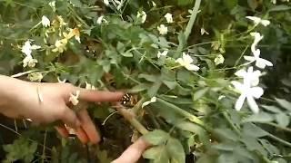 زراعة الياسمين الدمشقي في البيت  jasmine