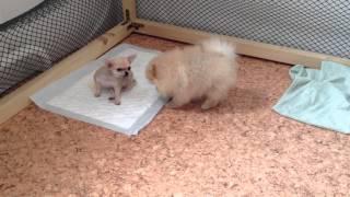 Pomeranian Spitz & Chihuahua Pups