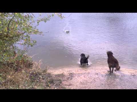 Chesapeake Bay Outwitting Labrador