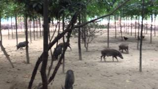 wild pig and boar farm in vietnam