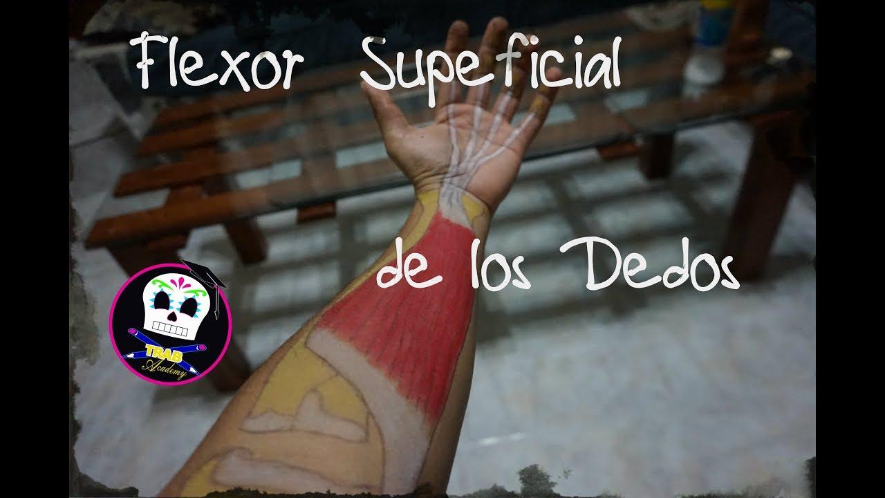 Flexor Superficial de los Dedos /Anatomía - YouTube