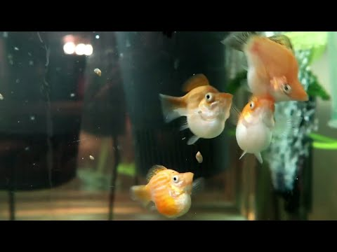 💖Balloon Mollies 🐡🐠🐟: Feeding, Fry, And Clearing Up Dark Water Fast.