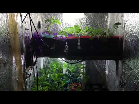 Cómo Clonar Genéticas de Cannabis en Sustrato