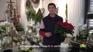 """Gartentipps Blumen Bair """"Weihnachtssterne"""""""