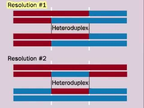 Genetic Recombination During