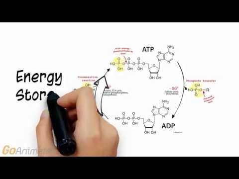 ATP Phosphocreatine System Overview (V2.0)