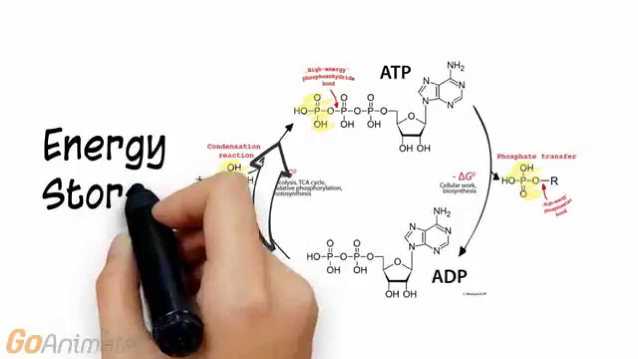 ATP Phosphocreatine System Overview (V2.0) - YouTube