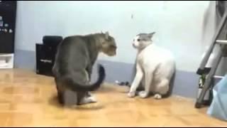 драка котов, машутся как вентиляторы !