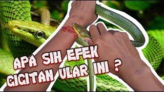 Efek gigitan ular hijau ekor perak