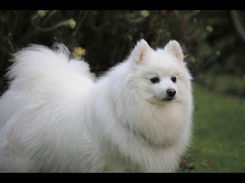 Just A Cute Little Fluffy White Dog