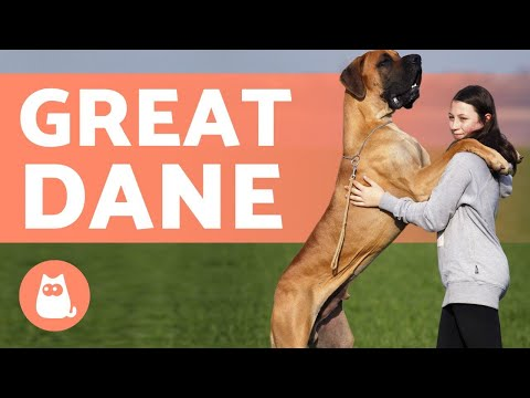 GREAT DANE  The Gentle Giants of the Dog World