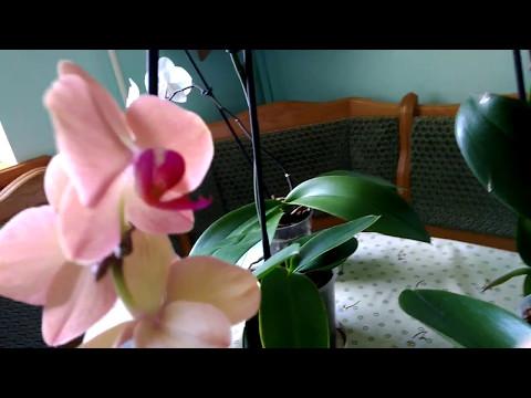 Орхидеи.Белая тля-мучнистый червец.Orchids. White aphid.
