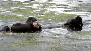 River Otter Eating Salmon Head At Capitol Lake, Olympia