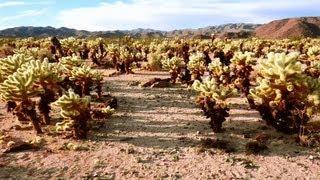 Cholla Cactus Garden Trail, Joshua Tree National Park, California