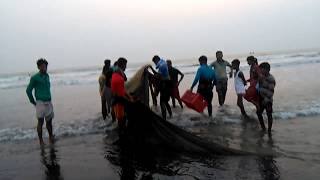 Collecting fish from inani sea beach