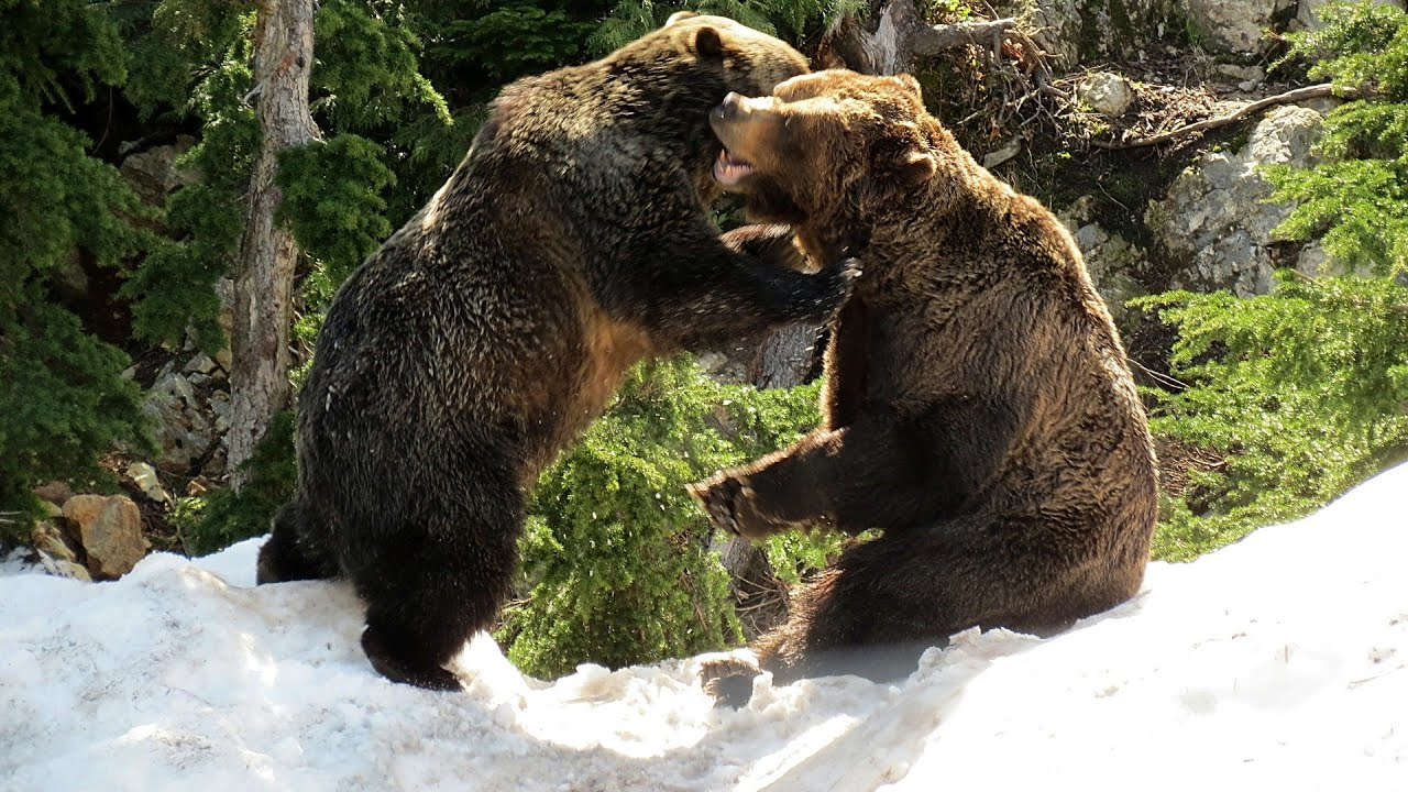 Watch the grouse mountain grizzlies via webcam