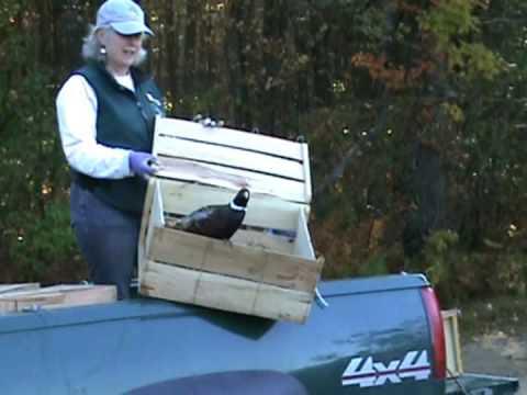 Nate stocks birds in Sanbornton