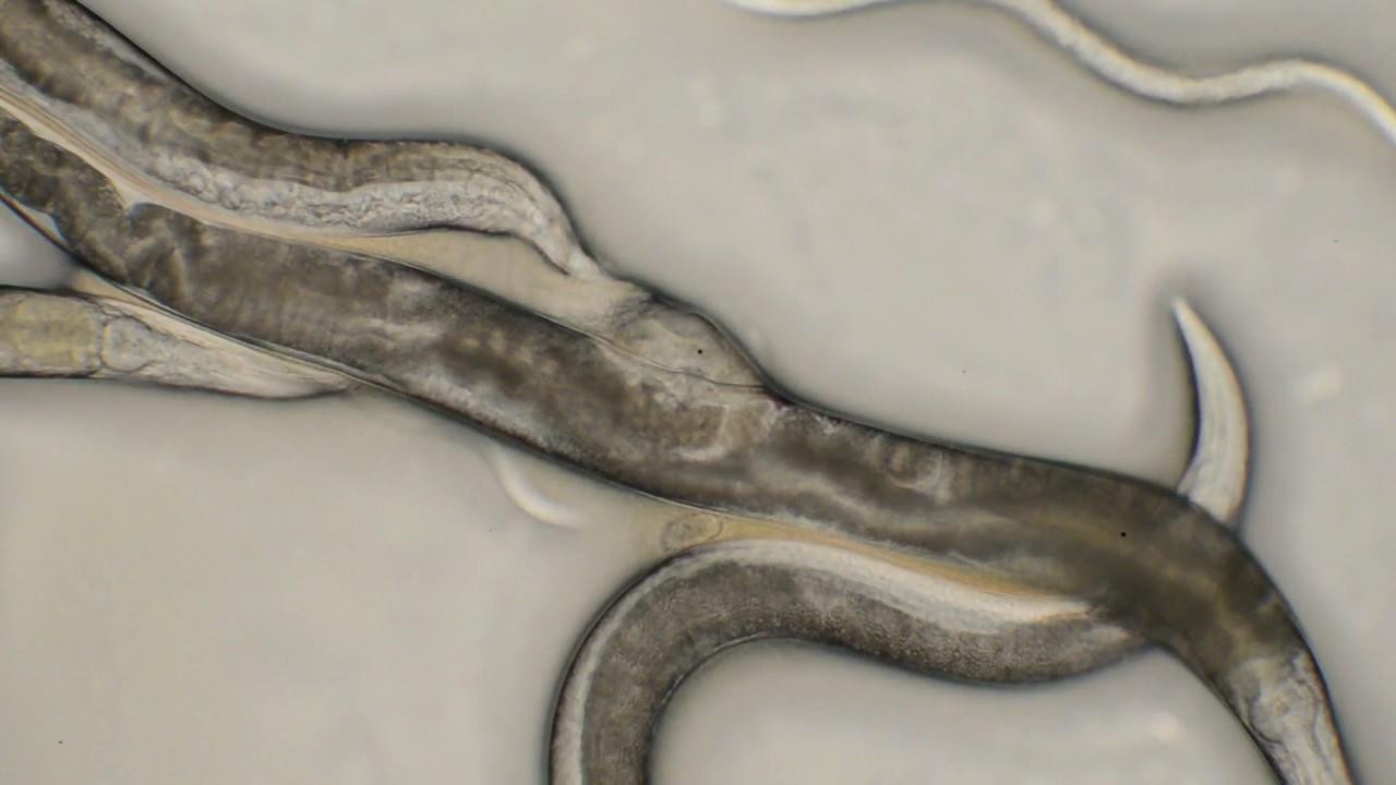 Vierme - Wikipedia Reproducerea nematodei
