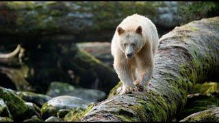 Great Bear Rainforest Official IMAX Trailer