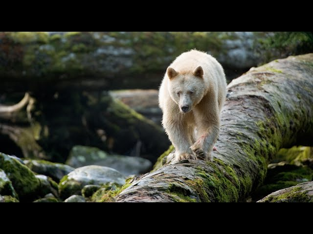 Great Bear Rainforest Official IMAX Trailer