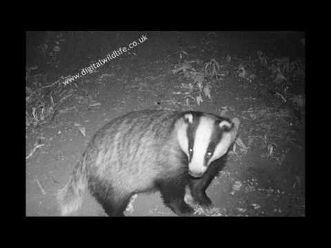 Badgers, Deadwater, Early May 2017