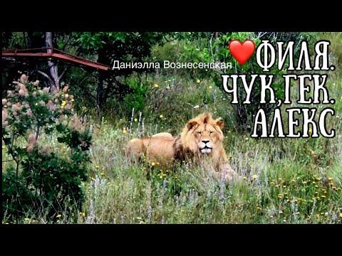 Львы и грозовые тучи